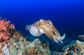 picture of cuttlefish  - Large Cuttlefish on a tropical coral reef  - JPG