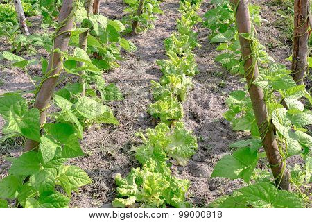Lettuce Grows Between The String Beans.