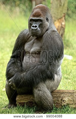Large silverback gorilla posing for the camera