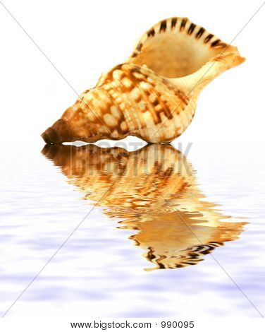 Isolated Shell On White Background With Reflection On Water
