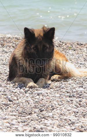 An alsation dog