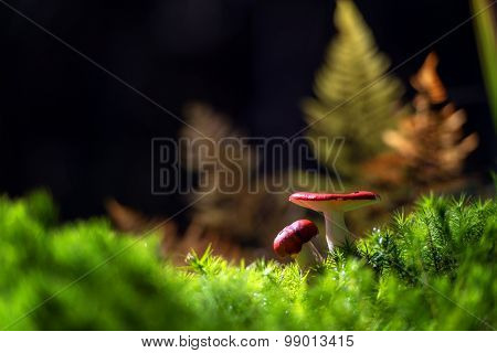 Amazing red mushrooms in forest close up