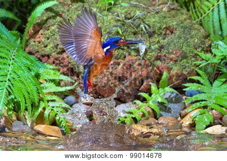 Blue-eared Kingfisher Catching