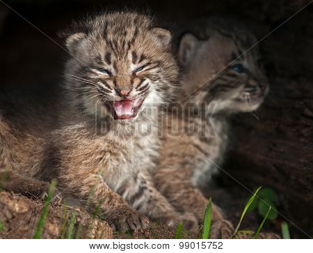 Two Baby Bobcat Kits (lynx Rufus) In Log