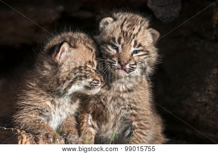 Baby Bobcat Kits (lynx Rufus) Lean On Each Other