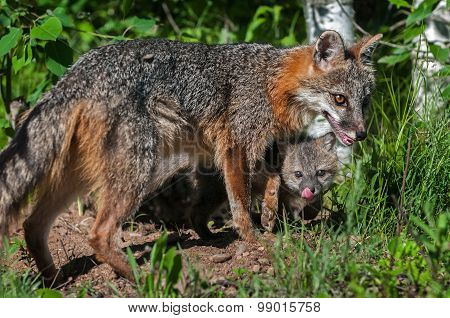 Grey Fox Vixen (urocyon Cinereoargenteus) And Kit Beneath
