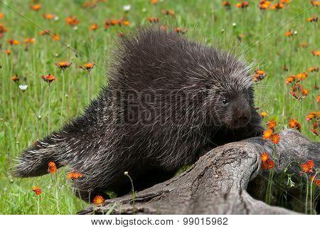 Porcupine (erethizon Dorsatum) Climbs Up Log