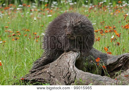 Bored Looking Porcupine (erethizon Dorsatum) On Log