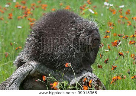 Porcupine (erethizon Dorsatum) Sits On Log