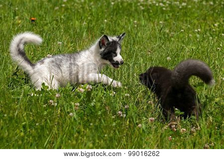 Young Silver Fox And Marble Fox (vulpes Vulpes) Play In The Grass