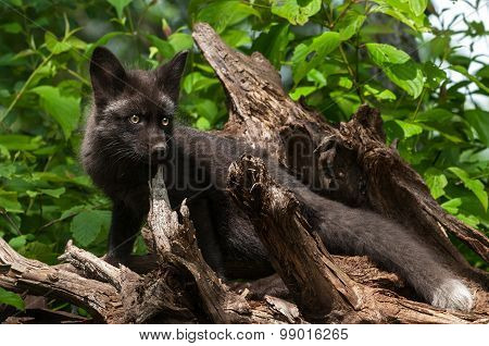 Young Silver Fox (vulpes Vulpes) Stands On Root Bundle