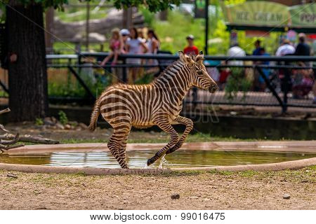 Leaping Zebra, Como Zoo