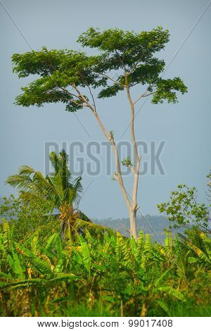Beautiful, Solitary Tree On An Agricultural Plantation In Southeast Asia.