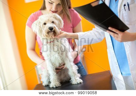 Veterinarian examining sick Maltese dog in vet clinic
