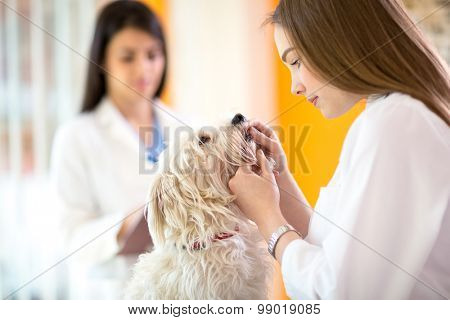 Young beautiful veterinarian checking teeth of sick Maltese dog in vet infirmary