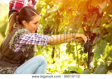 young woman harvesting the grape
