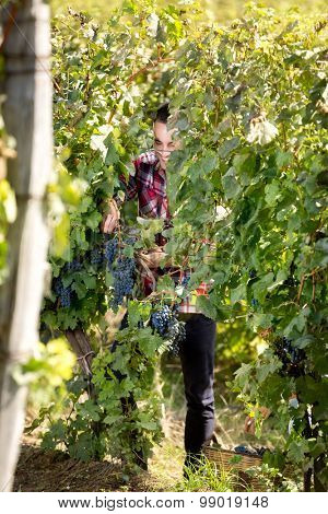 Man picking grapes works surrounded by vine leaves