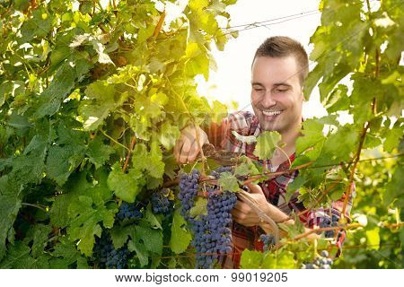 Handsome man harvesting the grape