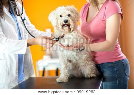Respiration check up of sick Maltese dog while giving paw in vet clinic