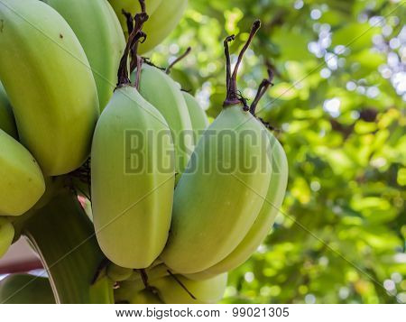 Raw Banana On Tree