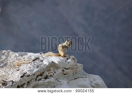 Desert Squirrel on Grand Canyon Cliff