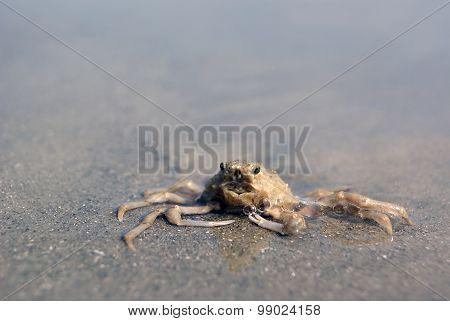 Closeup of Crab on Sandy Beach