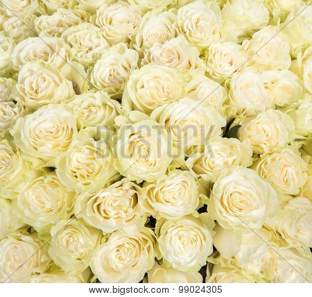 Many white roses as a floral background.