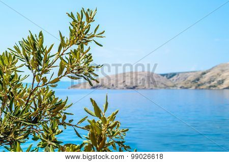 Rocky Coastline With An Olive Tree Branch By The Adriatic Sea