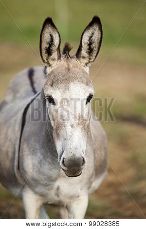 donkey portrait frontal