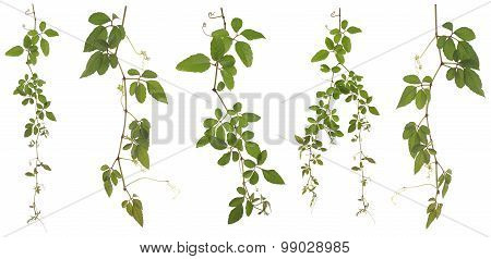Collected Cayratia Japonica Isolated On White Background