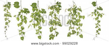 Collected Rubus Ampelopsis Humulifolia Bge Isolated On White Background