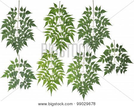 Original Size Of The Collected Neem Tree Leaves Macro Isolated On White Background