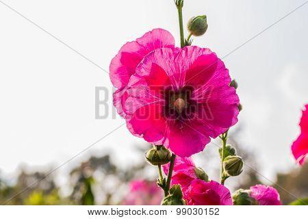 Hollyhocks Flower And Buds