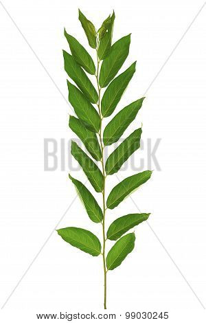 Persimmon Tree Twig Leaves Macro Isolated On White Background