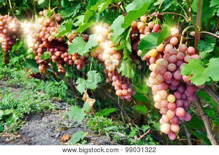 Row Of Pink Grape