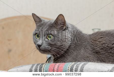 Grey Cat With Watchful Eye