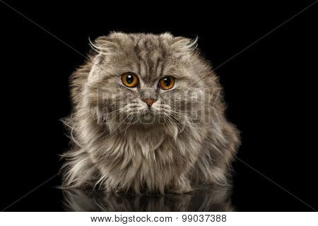 Closeup Highland  Fold Cat On Black