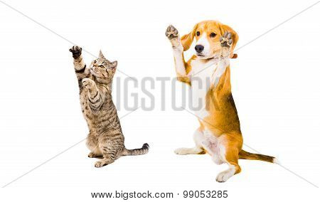 Playful Beagle dog and cat Scottish Straight