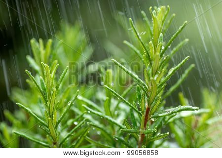 Fresh Rosemary Herb, close-up with water drops in motion