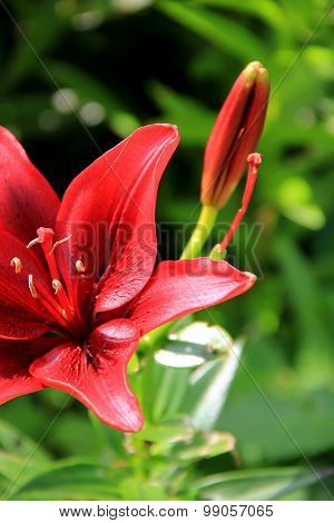 Beautiful color of tiger lily