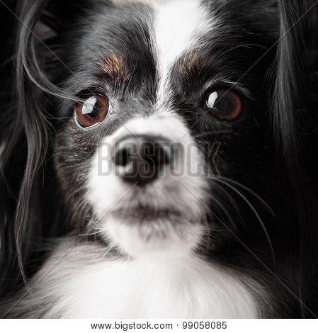 Close-up Portrait Of A Papillon Breed Dog. Isolated On A White Background