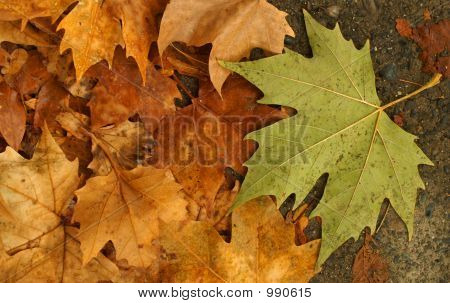 One Green Autumn Leaf W/Golden Leaves