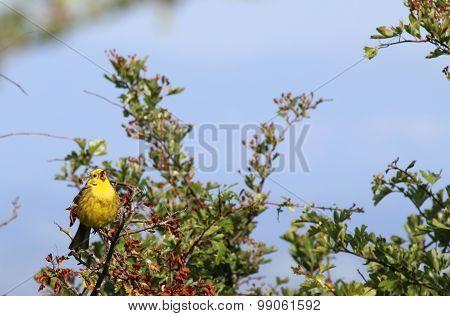 Yellowhammer (Emberiza citrinella) with Beak Open
