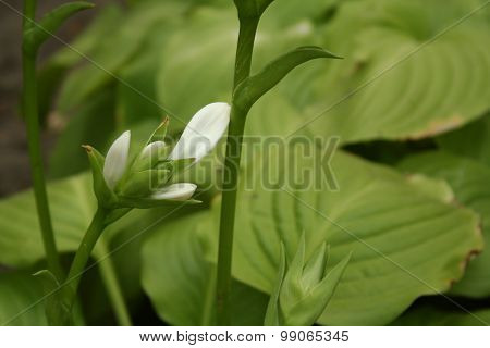 Hosta Flower in the garden