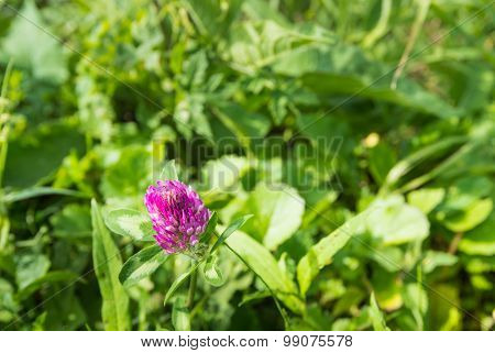 Blossoming Red Clover Plant From Close