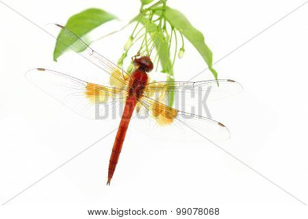 Red Dragonfly Perching On Green Leaf