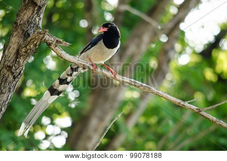 Red Billed Blue Magpie Is Standing In Branch Of Tree