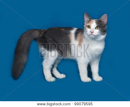 Fluffy Tricolor Cat Standing On Blue