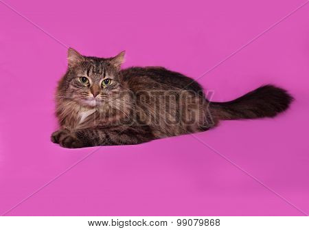 Fluffy Tabby Cat Lies On Pink