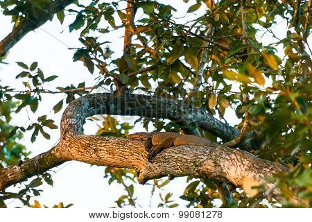 A Water Monitor Laying On The Tree On Sunset